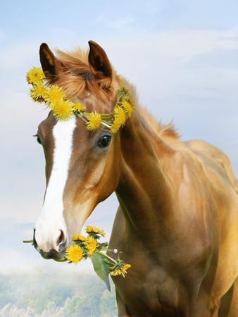 Small foal in a wreath of flowers of dandelions