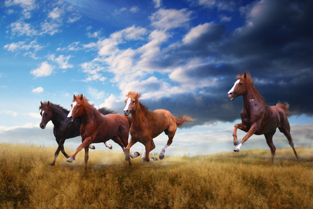 Wild horses gallop on yellow grass
