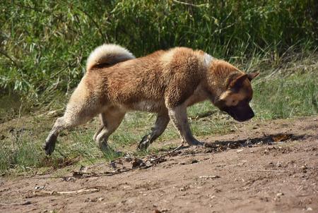 Powerful, strong breed of dog Akita Inu