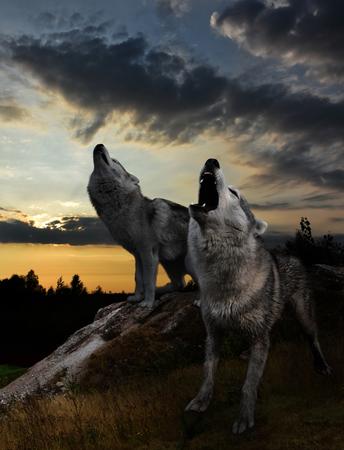 after the sun sets, the time of the wolves begins Reklamní fotografie