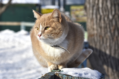 well-groomed, red-haired, domestic cat sits on a snowy fence Stock Photo