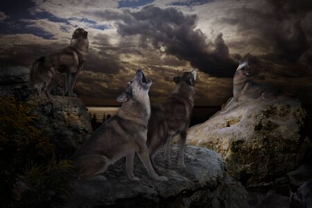 on a dark evening a pack of wolves greets the moon