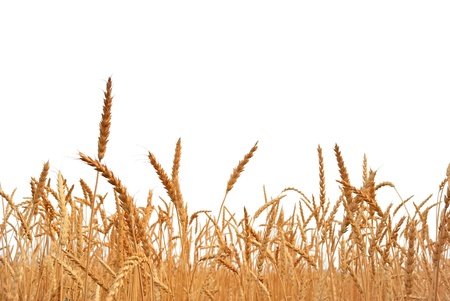 wheat fields: Rye. Rye on a white background. Harvest. Stock Photo
