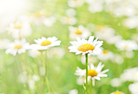 Daisy in the sun. The sun's rays and white daisies.
