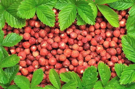 Strawberries and frame made of leaves. Ripe wild berry strawberries with bright green leaves. Frame made of leaves.