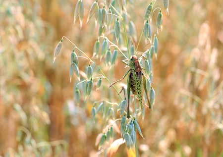locusts in the field. Green locusts devouring a large barley. Insect pest. photo