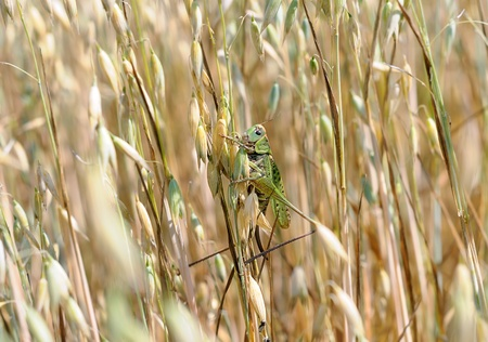 devouring: locusts in the field. Green locusts devouring a large barley. Insect pest.