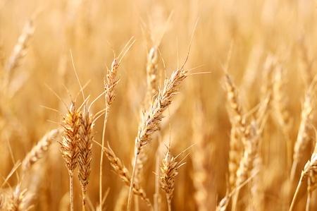 Wheat. Wheat crop. Wheat field. Stock Photo