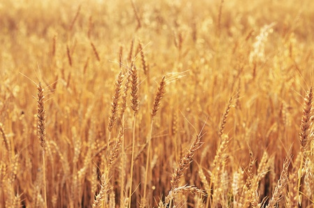Wheat. Wheat crop. Wheat field. photo