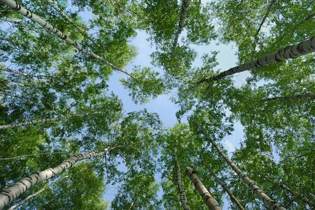 Looking up from the forest at the blue sky Stock Photo