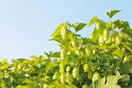 Bush hops in the sky. Stock Photo