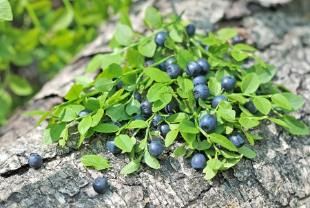 blueberries on a wooden surface. forest blue black berries. the berries on the tree bark in the woods.