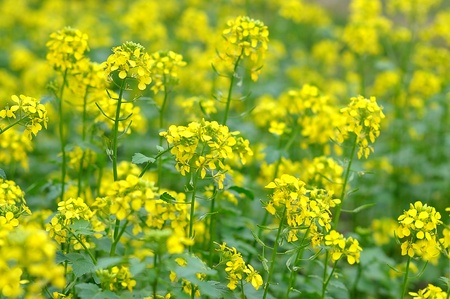 mustard field: Field of yellow flowers of mustard. Stock Photo