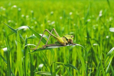 Locust on a stem of wheat. Grasshopper in the field.