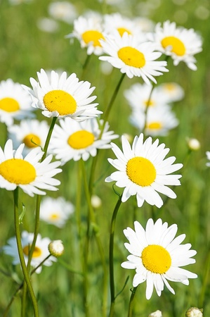 chamomile. Daisies in a field. Vertical shot of wildflowers. Stock Photo