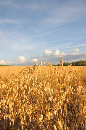 avena: El campo de avena de oro. Cebada campo. Cereales contra el cielo azul.