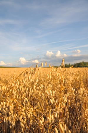 The field of golden oats. Barley field. Cereals against the blue sky. photo
