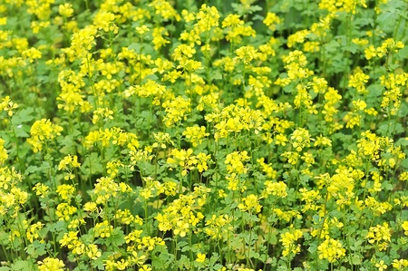 mustard field: Mustard field. The yellow field of mustard blossoms.
