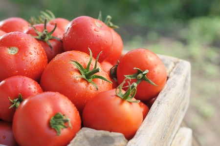 Ripe tomatoes on green garden. Vegetables in a wooden box.