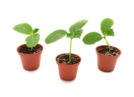 cucumber seedlings in small pots. Stock Photo
