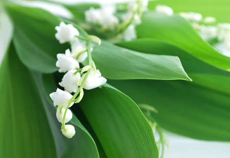 Forest spring flowers. Fragrant delicate flowers. Stock Photo - 11639854