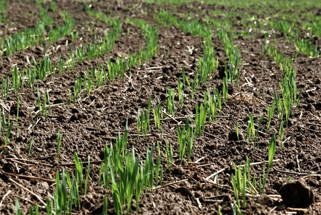 Wheat seedlings. Wheat field in spring. photo