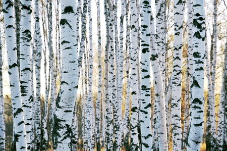 The trunks of birch trees in late autumn. photo