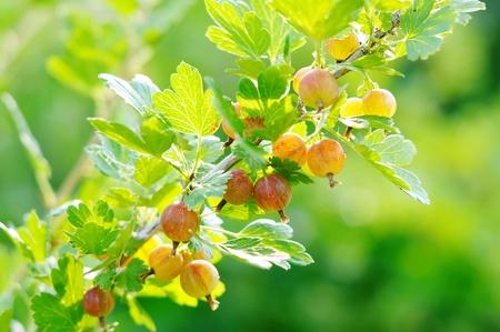 gooseberry bush: Bacche rosse sui rami spinosi uva spina. Cespuglio di uva spina.