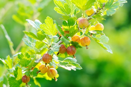 gooseberry bush: Red berries on the prickly gooseberry branches. Gooseberry bush.