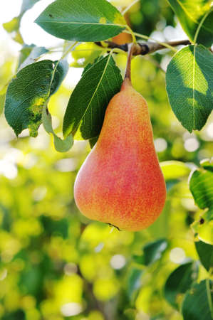 Red pear on the tree. Pear on a background of green foliage. photo