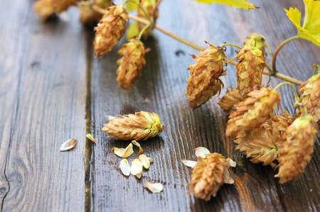 Golden hops on a wooden table photo