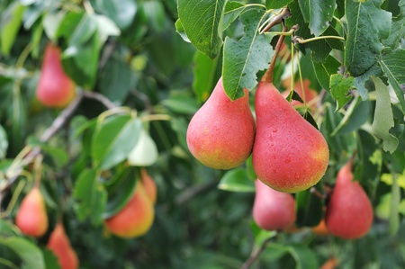 Ripe red pear on the background of green foliage.