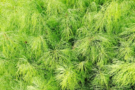 equisetum: Equisetum. Green horsetail. Background of forest green grass.