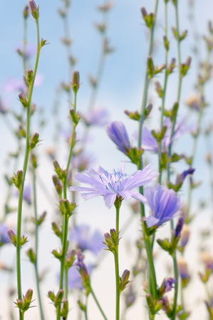 chicory: Flowers at Chicory blue sky. Delicate purple flowers herbs.