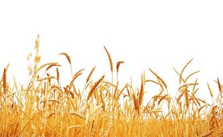 cebada: El trigo en un fondo blanco. Cosecha de trigo.