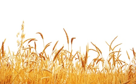 whole wheat: Wheat on a white background. Wheat crop.