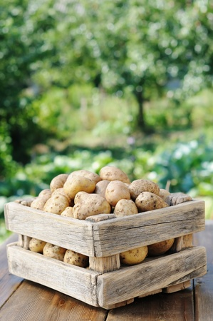 Potatoes in the box against the green of the garden. Potato crop in a wooden box. Stock Photo