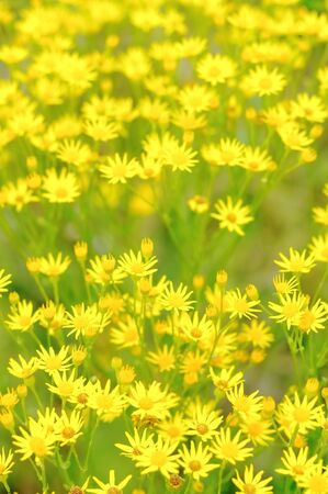 Background of the small yellow flowers. The small flowers on a green background.