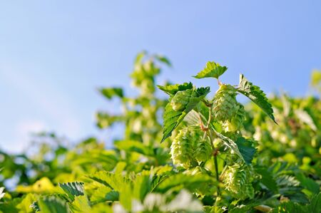 bitterness: Shrubs hops  Ripening crop of hops  Stock Photo