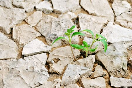 Seedling desert  Desert plants  Tomatoes in the midst of the stones and cracks  photo