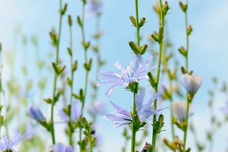 chicory flower: Flowers at Chicory blue sky  Delicate purple flowers herbs  Stock Photo