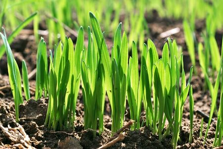 sprouting: Wheat germ  Spring wheat seedlings  Stock Photo