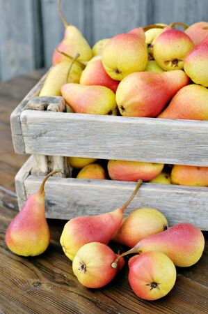 Ripe pears in a wooden box on a green garden  Scattered pears