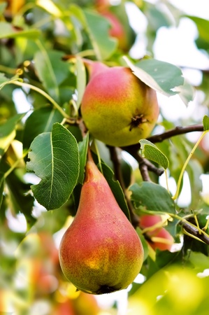 Two ripe pears on a tree  Pears in the garden