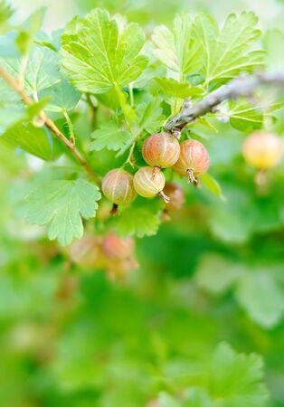 gooseberry bush: Bacche rosse sulla spinosa Gooseberry cespuglio di uva spina rami