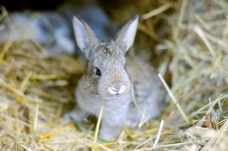 burrow: Small rabbit in the burrow  Bunny on the straw