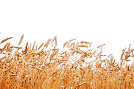 cultivo de trigo: El trigo en un fondo blanco. Cosecha de trigo.