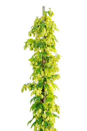 beer production: Hops field in the light of the evening sun.Plantation of hops. Stock Photo