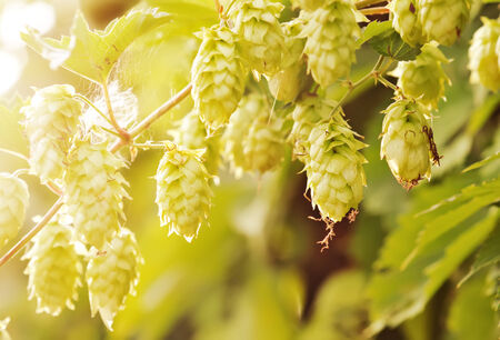 group of plants: Hop cones  raw material for beer production. Stock Photo
