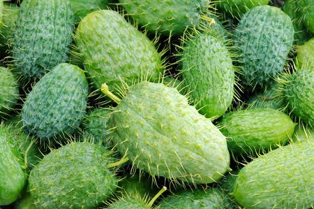 unpredictable: squirting cucumber. Funny unpredictable vegetable. Stock Photo